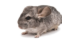 Chinchilla Royalty Free Stock Photos