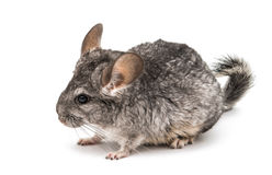 Chinchilla. On a white background Royalty Free Stock Photos