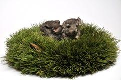 Chinchilla zwei im Aufkommen Wreath Lizenzfreie Stockfotografie