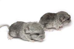 chinchillas Royalty Free Stock Image