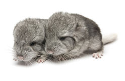 Chinchillas Royalty Free Stock Images