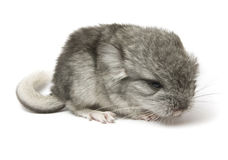 Chinchillas Stock Images