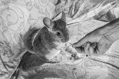 Chinchillas who takes the food from the hand Stock Image