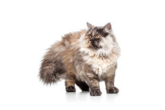 Chincilla Persial Cat Stock Photo