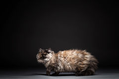 Chincilla Persial Cat Royalty Free Stock Image