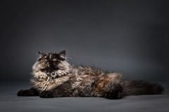 Chincilla Persial Cat Royalty Free Stock Images