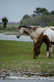 Chincoteague小马,亦称Assateague马 库存照片
