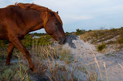 chincoteague konik Fotografia Royalty Free