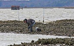 Récolte d'huître Photo libre de droits