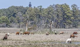Chincoteague Ponies with the Assateague Lighthouse Royalty Free Stock Image