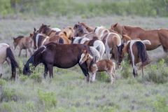 Chincoteague ponies, Chincoteague National Wildlife Refuge, Chincoteague, Va royalty free stock image