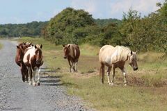 Chincoteague Ponies. Small Chincoteague herd of ponies Royalty Free Stock Photo