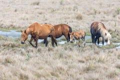 Chincoteague ponnyer som korsar det salta träsket i Chincoteague djurlivfristad Arkivfoton