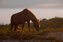 Chincoteague Pony Royalty Free Stock Photography