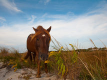 Chincoteague Pony Royalty Free Stock Images