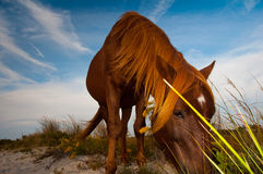 Chincoteague Pony Stock Photos
