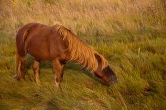 Chincoteague Pony Royalty Free Stock Photo