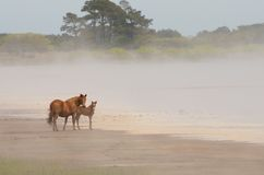 Chincoteague Pony and Foal Stock Photography