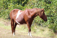 Chincoteague Pony. Robert E. Lee's Birthplace Mansion Grist Mill Royalty Free Stock Photo