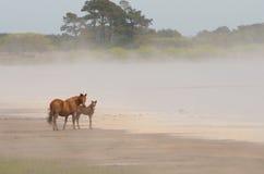 Chincoteague Pony und Fohlen stockfotografie