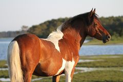 Chincoteague Stallion by the Bay. Chincoteague stallion living in Chincoteague National Wildlife Refuge, on Assateague Island, a small barrier island off the Stock Images