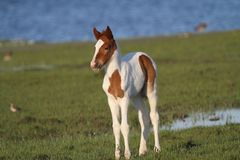 Chincoteaguekastanje Pinto Foal stock fotografie