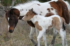 Chincoteaguemerrie en Daim Pinto Foal royalty-vrije stock afbeeldingen