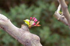 Chinees die crabapple bloeien Stock Foto