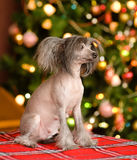 Chinees kuifhondpuppy die weg eruit zien Stock Fotografie