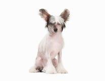 Chinees kuifhondpuppy op wit Stock Foto's