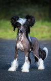 Chinees Kuifhondras Mannelijke Hond Royalty-vrije Stock Foto