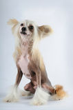 Chineese crested dog portrait Stock Photography