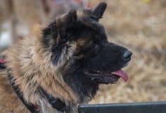 Chineese dog Stock Photo