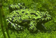 Free Chineese Fire Bellied Toads - Discoglossidae - Bombina Orientali Stock Photos - 1129943