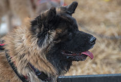 Chineesehond Stock Foto