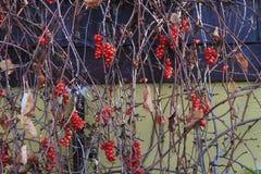 Chinensis εγκαταστάσεις Schisandra με τα φρούτα Στοκ Φωτογραφία