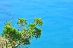 Chinensis κλάδος ιοuνίπερος στο μπλε υπόβαθρο θάλασσας Στοκ Εικόνα