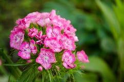 Chinensis ροζ fainbow Dianthus στη φύση Στοκ εικόνα με δικαίωμα ελεύθερης χρήσης