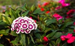 Chinensis Bloemen van Dianthus Royalty-vrije Stock Foto