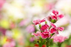 Chinensis Blume des Dianthus lizenzfreies stockbild