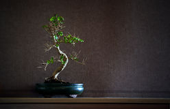 Chinensis bonsai van Ligustrum Stock Foto