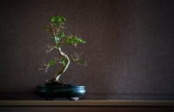 Chinensis Bonsais des Ligustrum Stockfoto