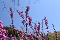 Chinensis Cercis stock foto