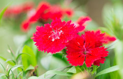 Chinensis dianthus Stock Image