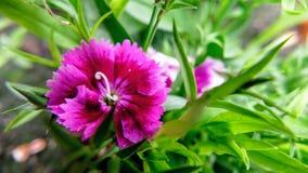 Chinensis do cravo-da-?ndia conhecido geralmente como o rosa de arco-?ris fotografia de stock