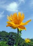 chinensis floverjordklottrollius Royaltyfria Foton