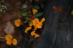 Chinensis Ixora stock foto
