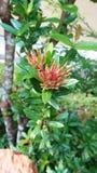 Chinensis Ixora royalty-vrije stock foto's