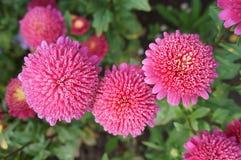 Chinensis rosa färgblommor för Callistephus Arkivfoton