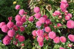 Chinensis rosa färgblommor för Callistephus Arkivbild